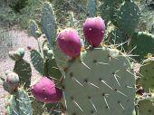 Desert Cactus Plant
