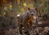 stock photo of cunning  - Endemic Fossa  - JPG