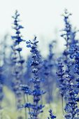 stock photo of salvia  - Blue Salvia (salvia farinacea) flowers blooming in the garden