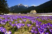 Crocuses in Chocholowska valley, Tatras Mountain in Poland
