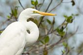 Portrait Of A Great White Egret (egretta Alba)