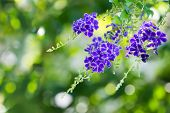 Purple blue Duranta flower
