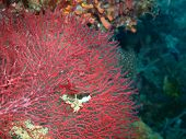 Coral Gorgone