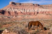 Domestic Animal Livestock Horse Grazes Desert Southwest Canyon Landscape