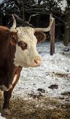 Horned hereford cow