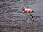 Lesser Flamingo Walks In Shallow Water