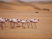 Flamingo marzo en desierto de Namib