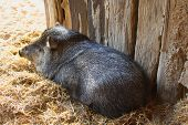 foto of javelina  - A collared peccary or javelina - JPG