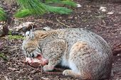 Bobcat eats a chunk of meat