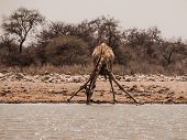 Thirsty Giraffe Drinking From Waterhole