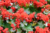 image of begonias  - beautiful background of flowers red big begonias - JPG