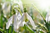 snowdrop flower with morning dew