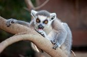 die Ring tailed Lemuren (Lemur Catta).