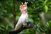 picture of cockatoos  - Major Mitchell Cockatoo sitting on tree branch with crest highlighted - JPG