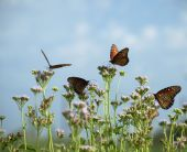 4 Butterflies On Blue Mist