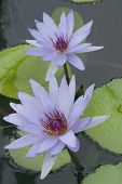 Water Lily Pair