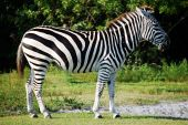 Zebra walking in grass