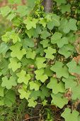 green ivy type plant
