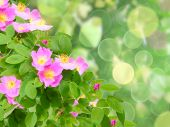 stock photo of dog-rose  - Abstract background with soft - JPG