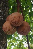 picture of cannonball  - Couroupita guianensis or cannonball are brown color on leaves background - JPG