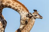 Giraffe Calf Love Affections Wildlife