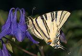 Sail swallowtail