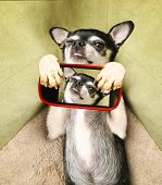 a cute chihuahua laying on a pet bed taking his photo with a cell phone camera