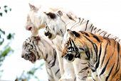 Bengal Tiger Show
