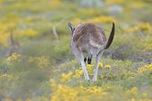 Kangaroo On The Run