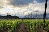 Hops Field - Cloudy Sky