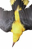 stock photo of taxidermy  - closeup of eurasian golden oriole taxidermy mount  - JPG
