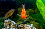 image of freshwater fish  - image of a beautiful aquarium decorative orange parrot fish