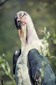 Portrait Of A Marabou Stork
