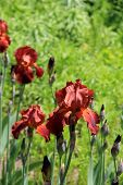 Colorful Bearded Iris in meadow