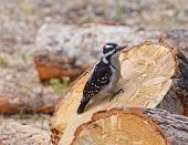 Hairy Woodpecker Gripping Firewood