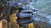 Cold Duck Reflection