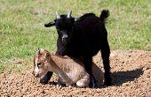 cute goats