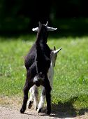 goats having sex