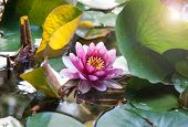 Beatiful Water Lily Whith Leans Flare