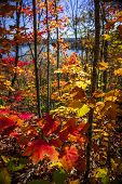 Foliage of colorful fall maple trees in autumn forest viewed from Lookout trail at Algonquin Park, O