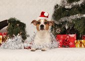 Cute Lying Jack Russell Terrier With Santa Hat In A Christmas