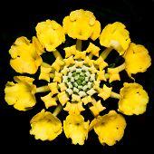 stock photo of lantana  - Macro of a Lantana Flower on a Black Background - JPG
