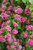 Blossoming Hawthorn , Close-up