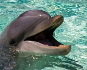 image of bottlenose dolphin  - The dolphin in the water, San Diego,California