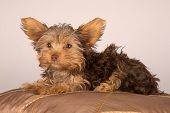 Tired Cute Little Yorkshire Terrier Resting On Soft Brown Cushion