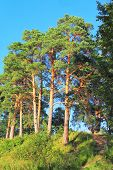 Summer landscape with pines