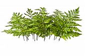pic of fern  - sprigs of fern isolated on white background - JPG