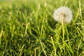 Lush green pasture closeup with fairy-like dandelion seed head.