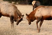 Young Elk Bulls Sparring