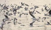 Gull Flock In Flight
